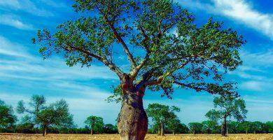 árbol de ceiba